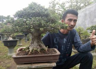 cara memelihara bonsai